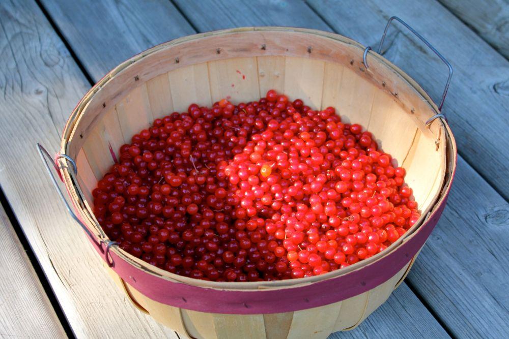 highbush cranberry (Viburnum edule)   (2/4)