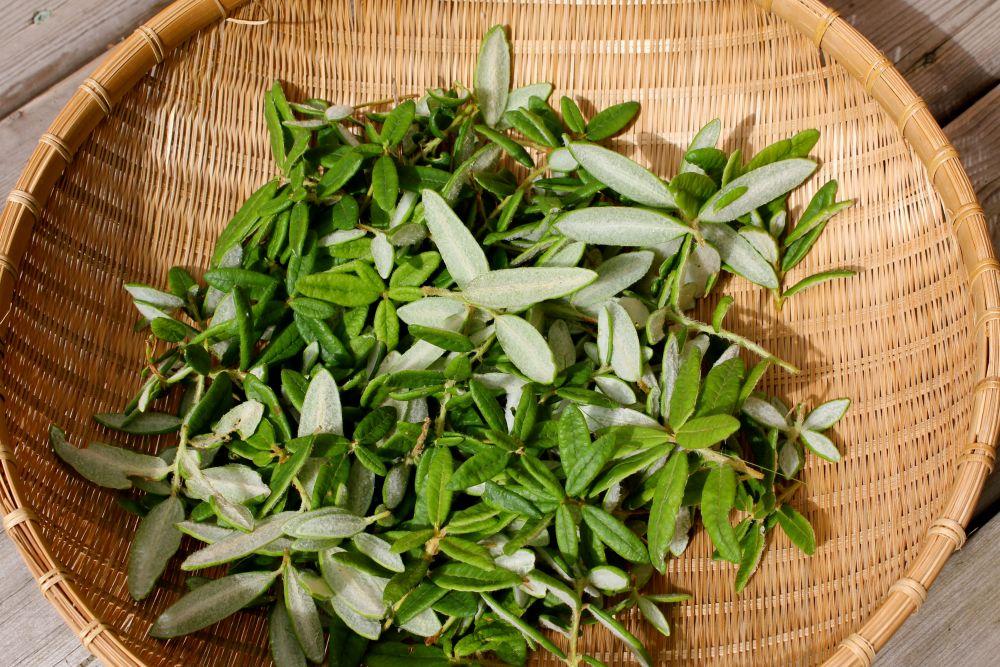 Labrador tea (Rhododendron groenlandicum, Rhododendron tomentosum)   (2/3)