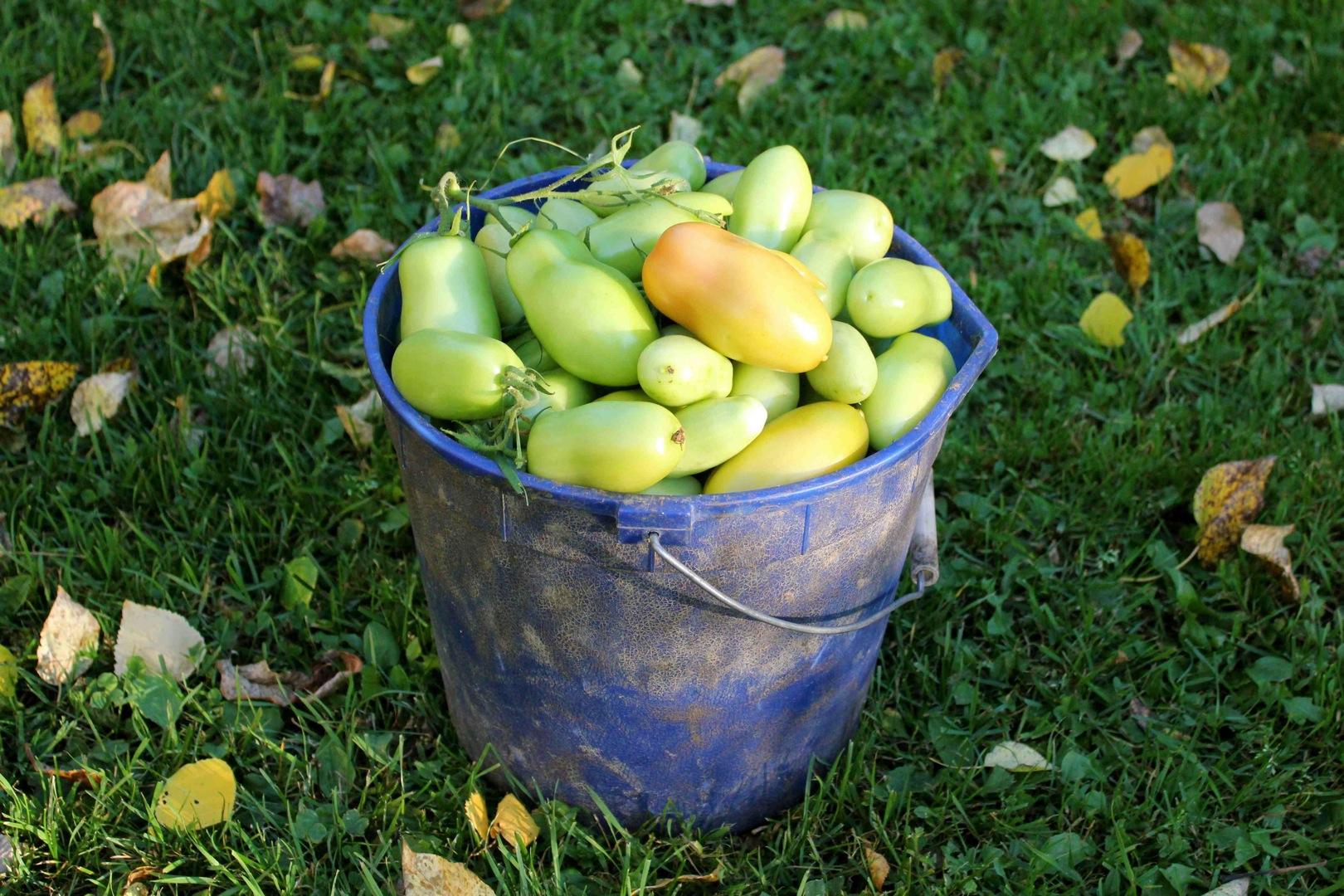 Planting Potatoes In Barrels