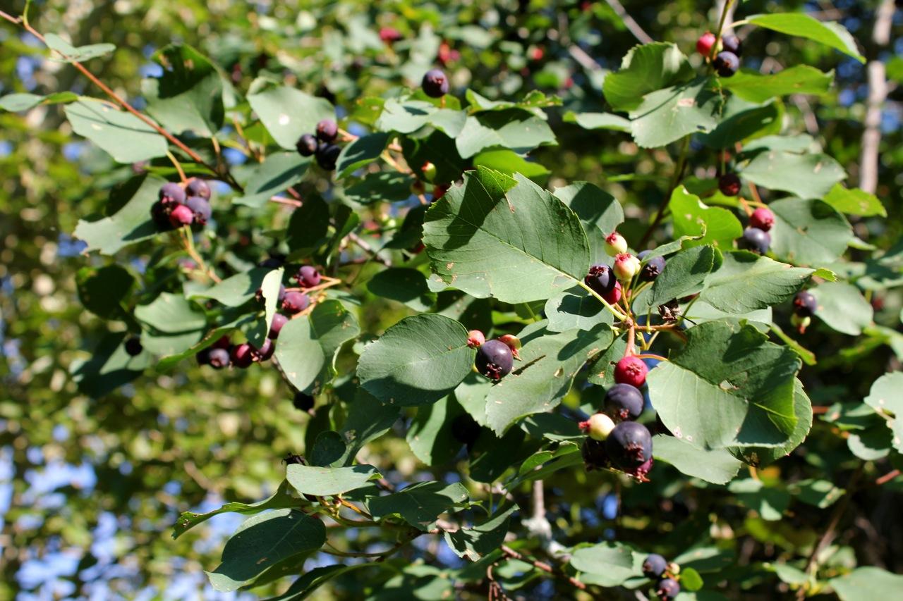 Saskatoon Berries | cabinorganic