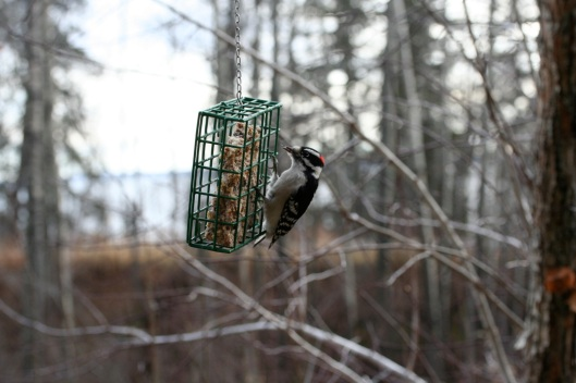 Downy Wood Pecker1