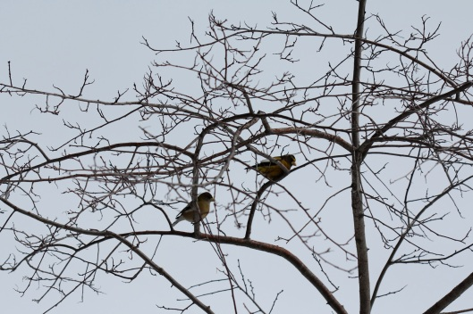 Evening Grosbeak1