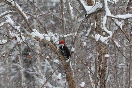 pileated woodpecker1