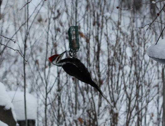 pileated woodpecker3