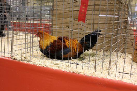 chicken show